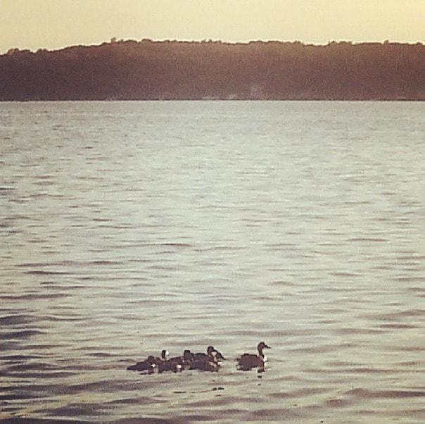 lake ducks