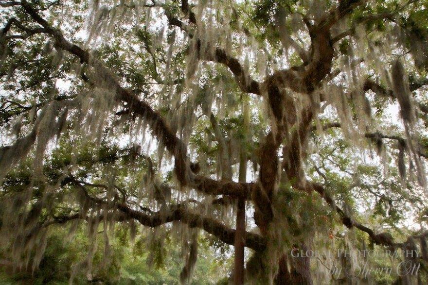 Spanish moss and oak trees