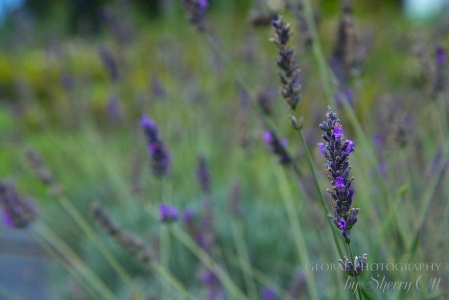 lavender farm maui upcountry