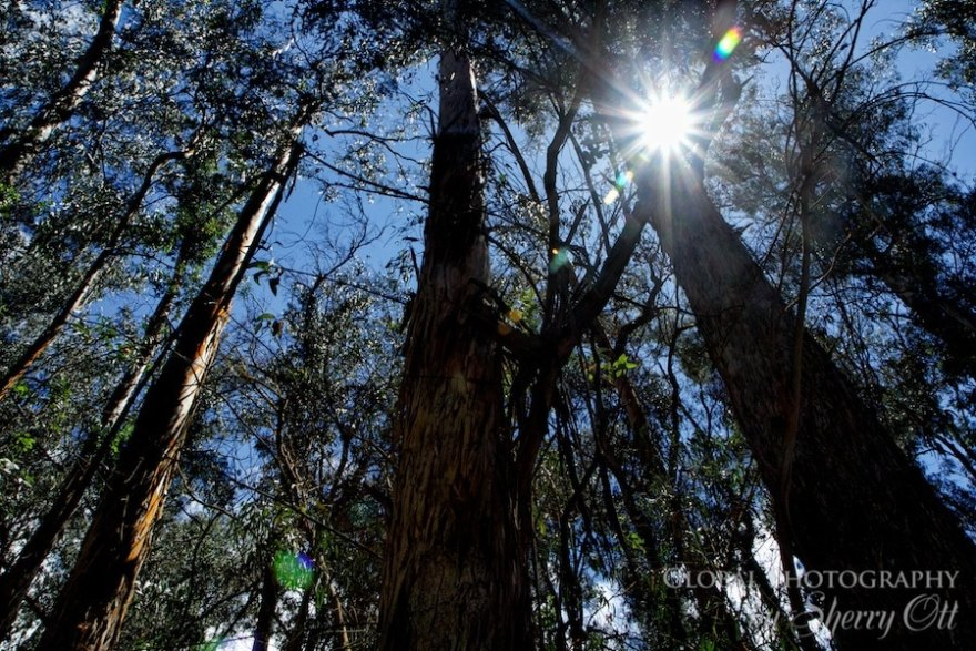 eucalyptus trees maui haleakala