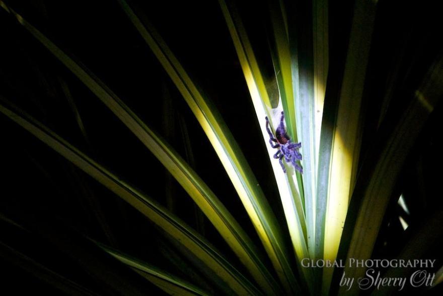 tarantula Peru Jungle