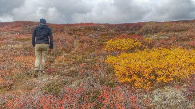 HIking on the High Tundra bove the Arctic Circle. The red is the fireweed