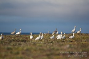 Bird watching wrangel island
