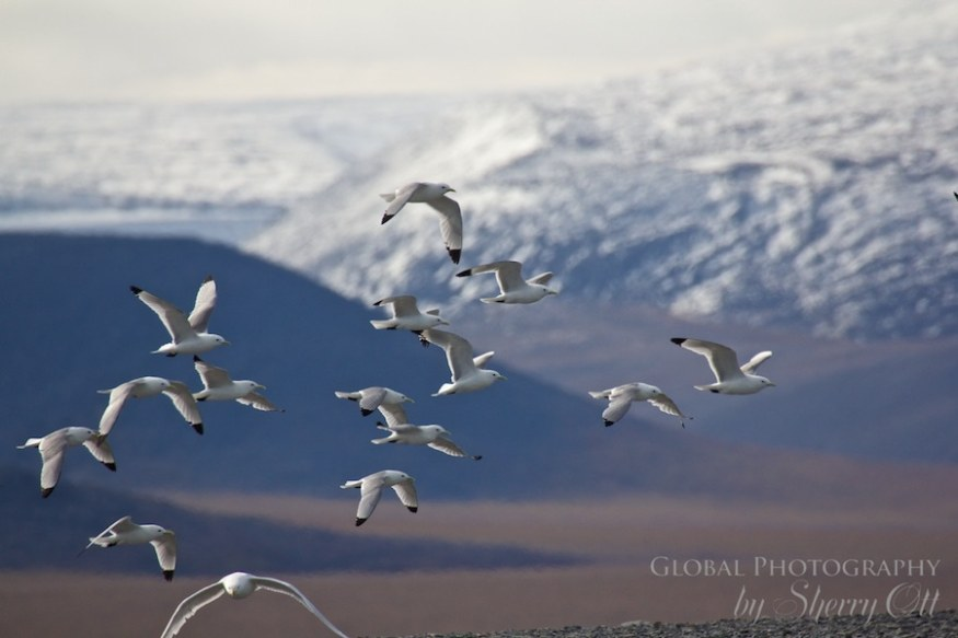 Wrangel Island birds