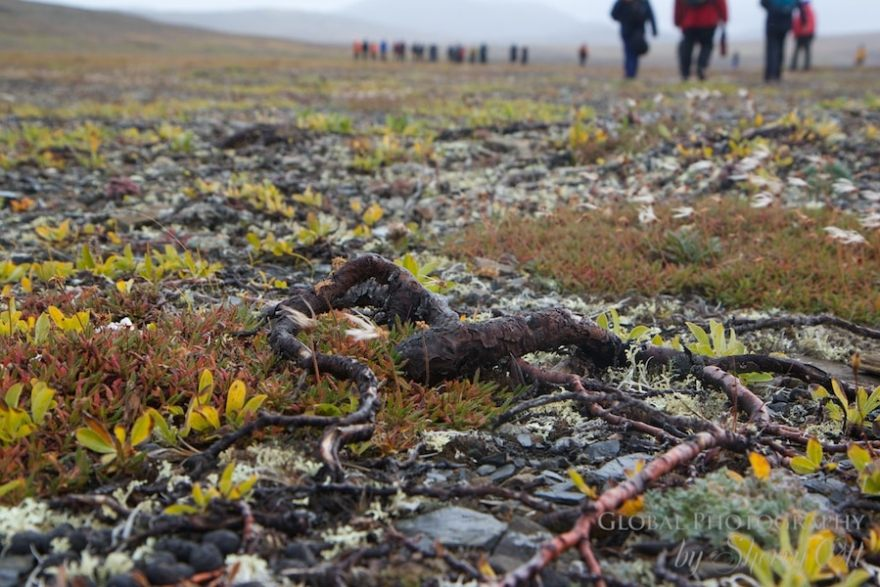 tundra plants willow