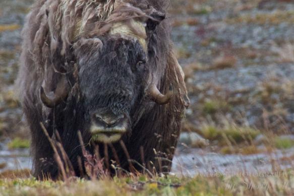 wrangel island muskoxen