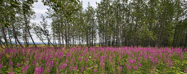 tundra trees nome alaska
