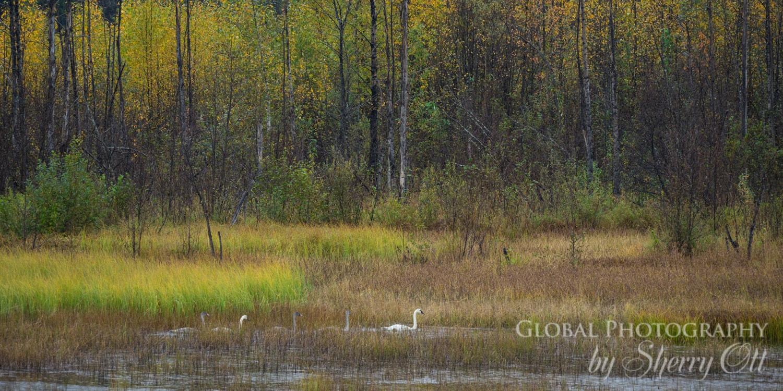 Swans Alaska