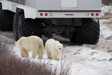 polar bear safari