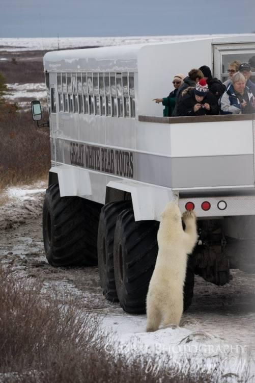 buggy love polar bears