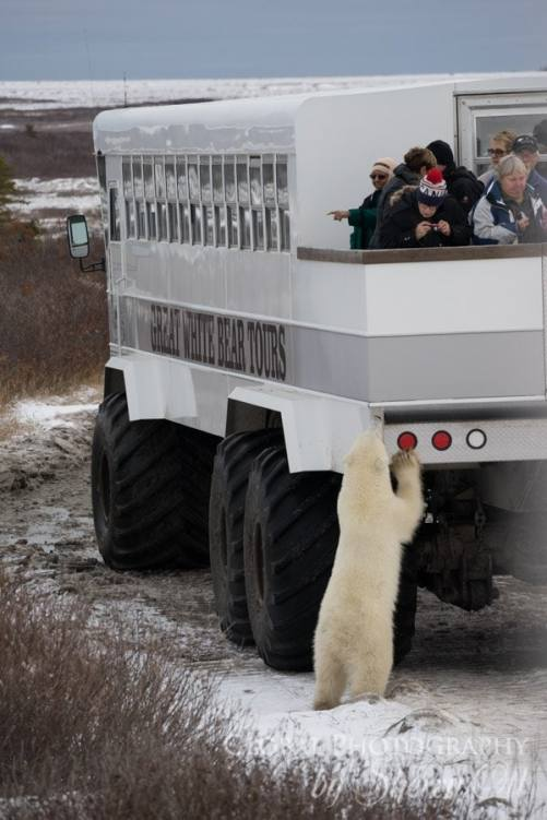 buggy love polar bears