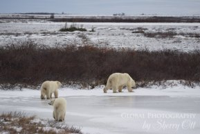 polar bears churchill