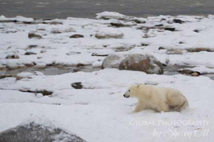 polar-bear-behavior-09130