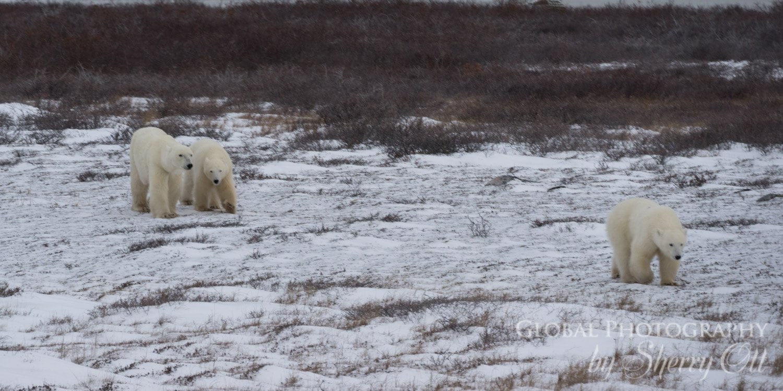 polar bear personalities churchiill