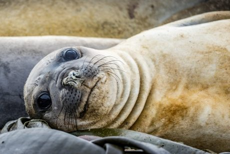macquarie island elephant seal
