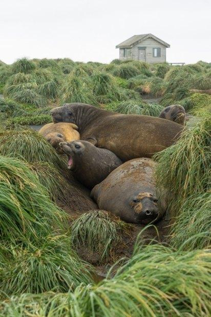 macquarie island elephant seals