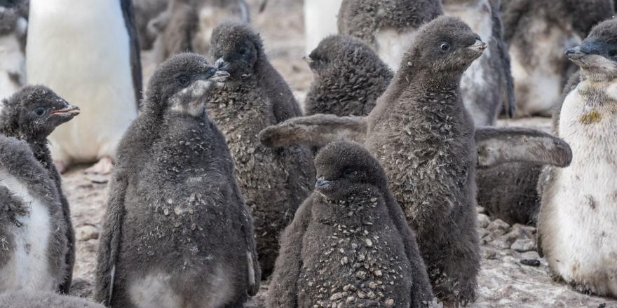 Franklin Island Ross Sea Adelie Chicks