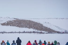 reindeer crossing ice road inuvik