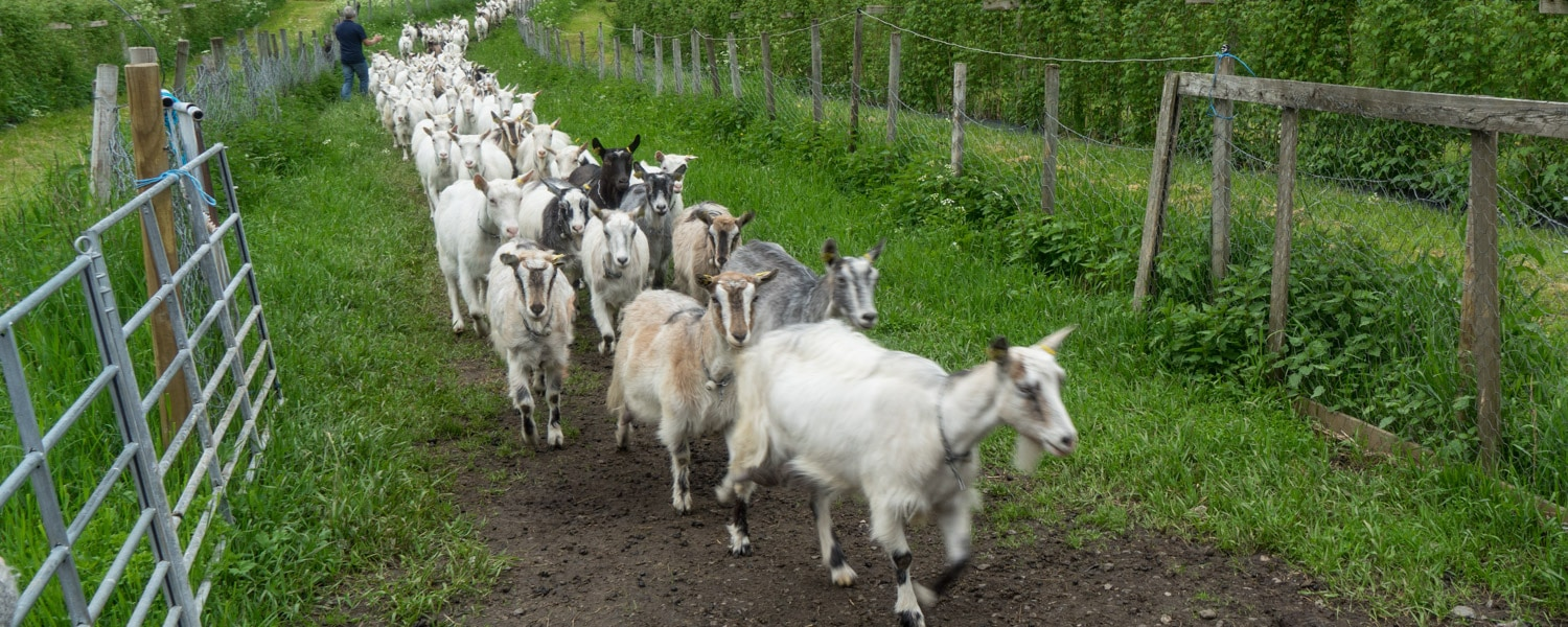 Make sure you add this goat farm to your Norway itinerary