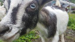 Norway goat