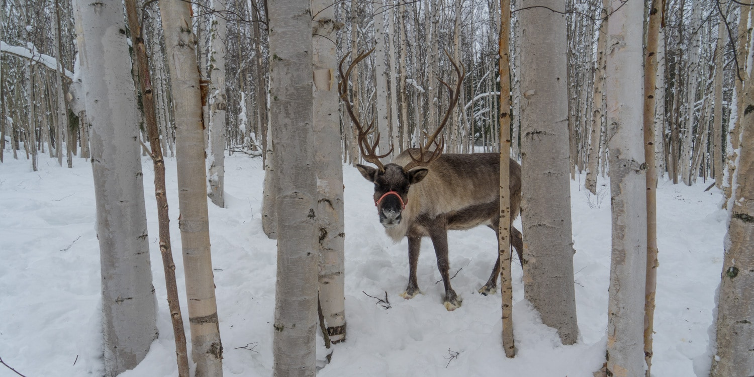 Fairbanks Alaska winter reindeer