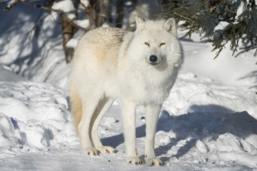 Quebec sleep with wolves