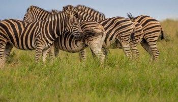 Zebras South Africa Safari