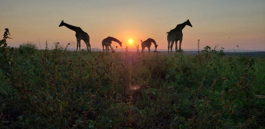 Safari photography tips using phone camera