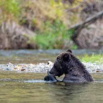 pêche au grizzli