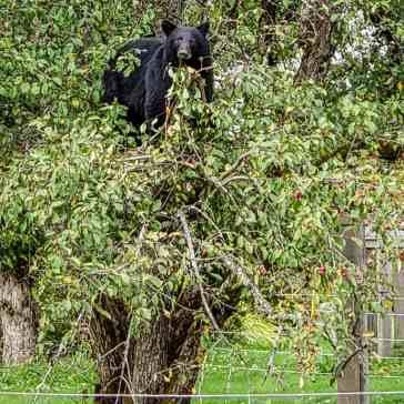 ours noir bella coola