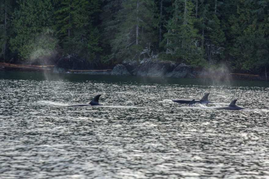 orcas great bear rainforest