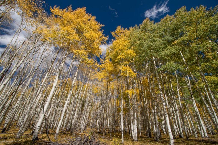 Fall aspens in colorado