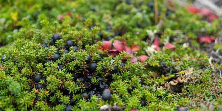 tundra blueberries alaska