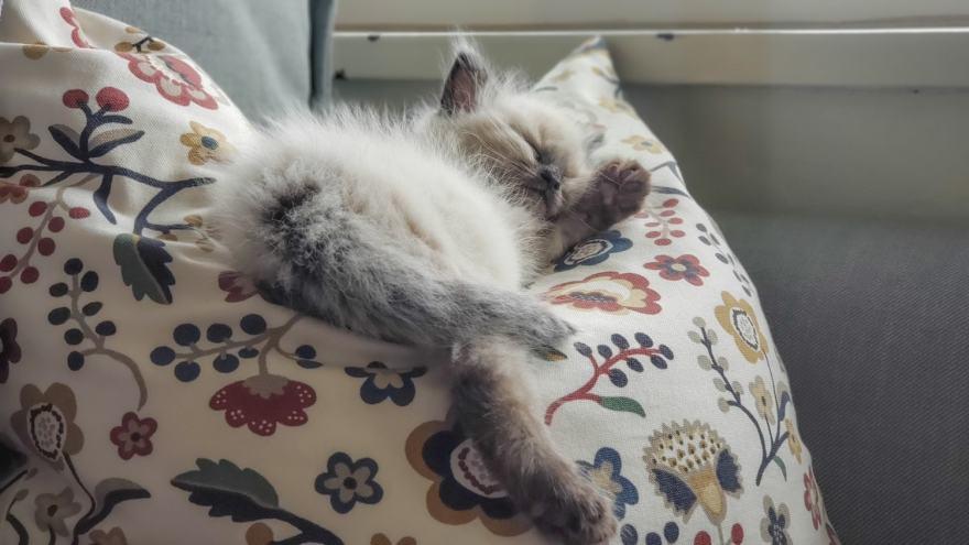 Foster kitten sleeping