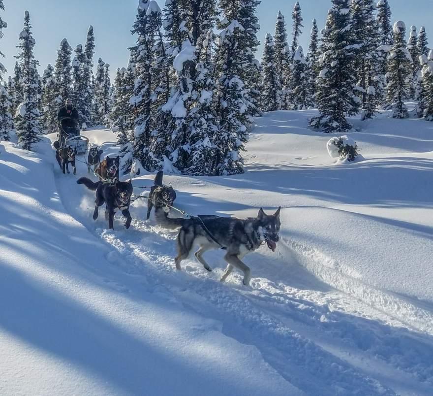 sled dogs alaska