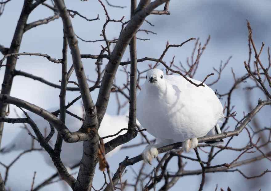 ptarmigan alaska state bird