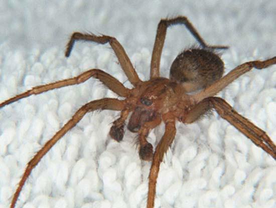 Hobo-Spider-Tegenaria-agrestis