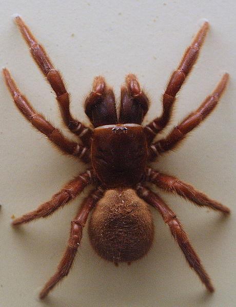 Northern-Tree-Dwelling-Funnel-Web-Spider-Hadronyche-formidabilis