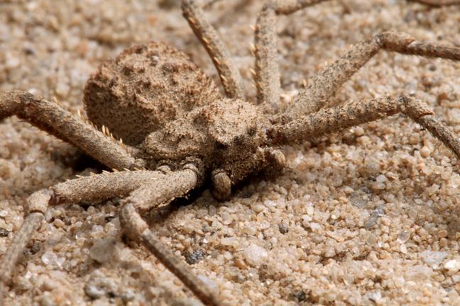 Six-Eyed-Sand-Spider-Sicarius-hahni