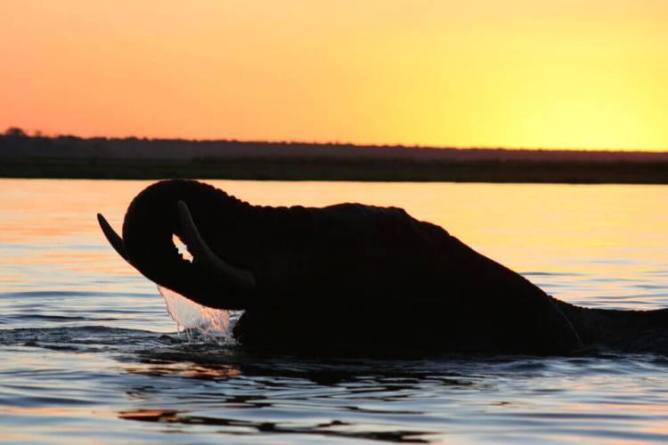 Un éléphant mâle nage dans la rivière Chobe au Botswana au lever du jour. (Crédit)