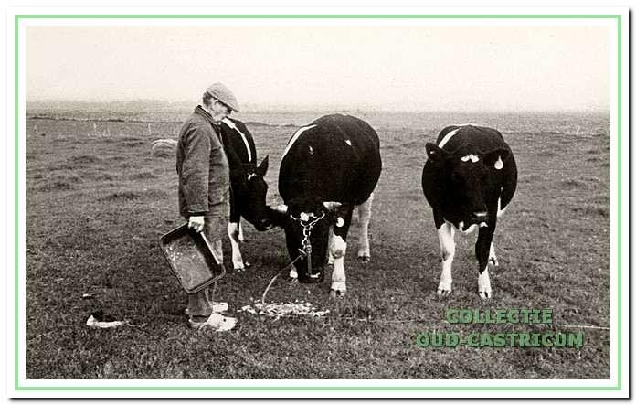 Piet Hes bij zijn koeien.