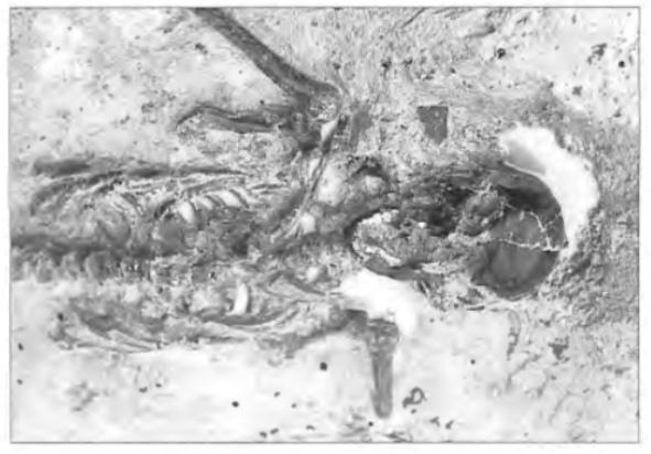 """Bijna 2000 jaar geleden begraven. Een zeer interessante, maar ook ongrijpbare vraag voor archeologen is: """"Wie woonden er nu eigenlijk in het Castricum van het jaar 0?"""" Hoe zagen de mensen eruit, welke taal spraken ze, wat deden en dachten ze? Het skelet van deze vrouw werd in de Oosterbuurt gevonden in 1996. Wat ging er in haar hoofd om toen ze nog leefde? Ze leed een hard leven. moest zich te weer stellen tegen dreigende ziekten, ondervoeding enz. In ieder geval is bekend dat de Friezen er een uitgebreide set aan goden op nahielden. De vrouw vermoedde, toen ze stierf, misschien wel dat er een soort van 'hiernamaals' was, maar dan heel anders dan de christelijke godsdienst die kent (foto R. Beentjes)."""