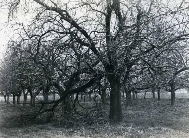 Hoogstambomen in 1984 aan de Hoogdijk