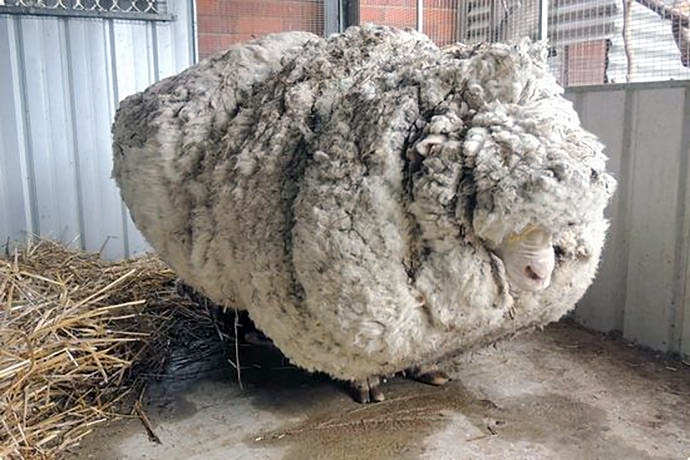 Merino sheep feeling a bit meh