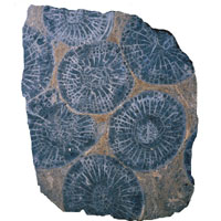 Fossil corals