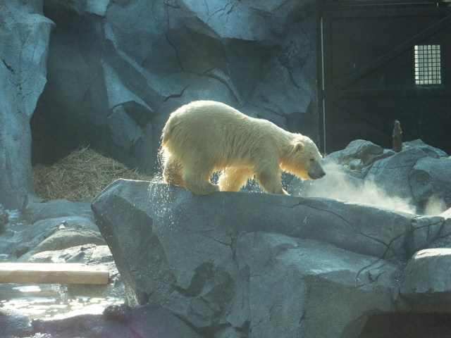 Henry the baby polar bear