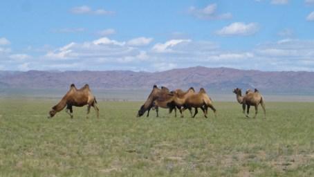 Mongolian camels
