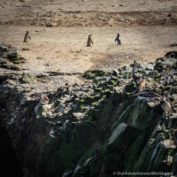 Ballestas Islands - Penguins