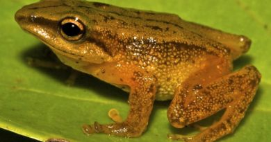 New Columbian Forest Frog