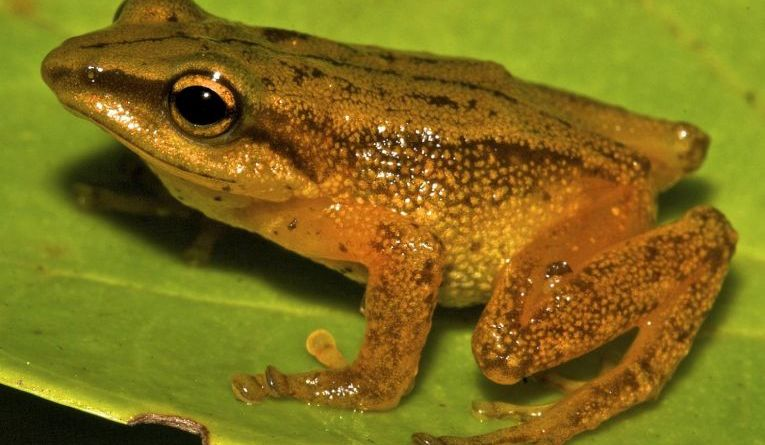 New Columbian Forest Frog Found